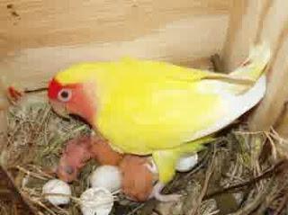 lovebird makan anakan, lovebird membuang anakan