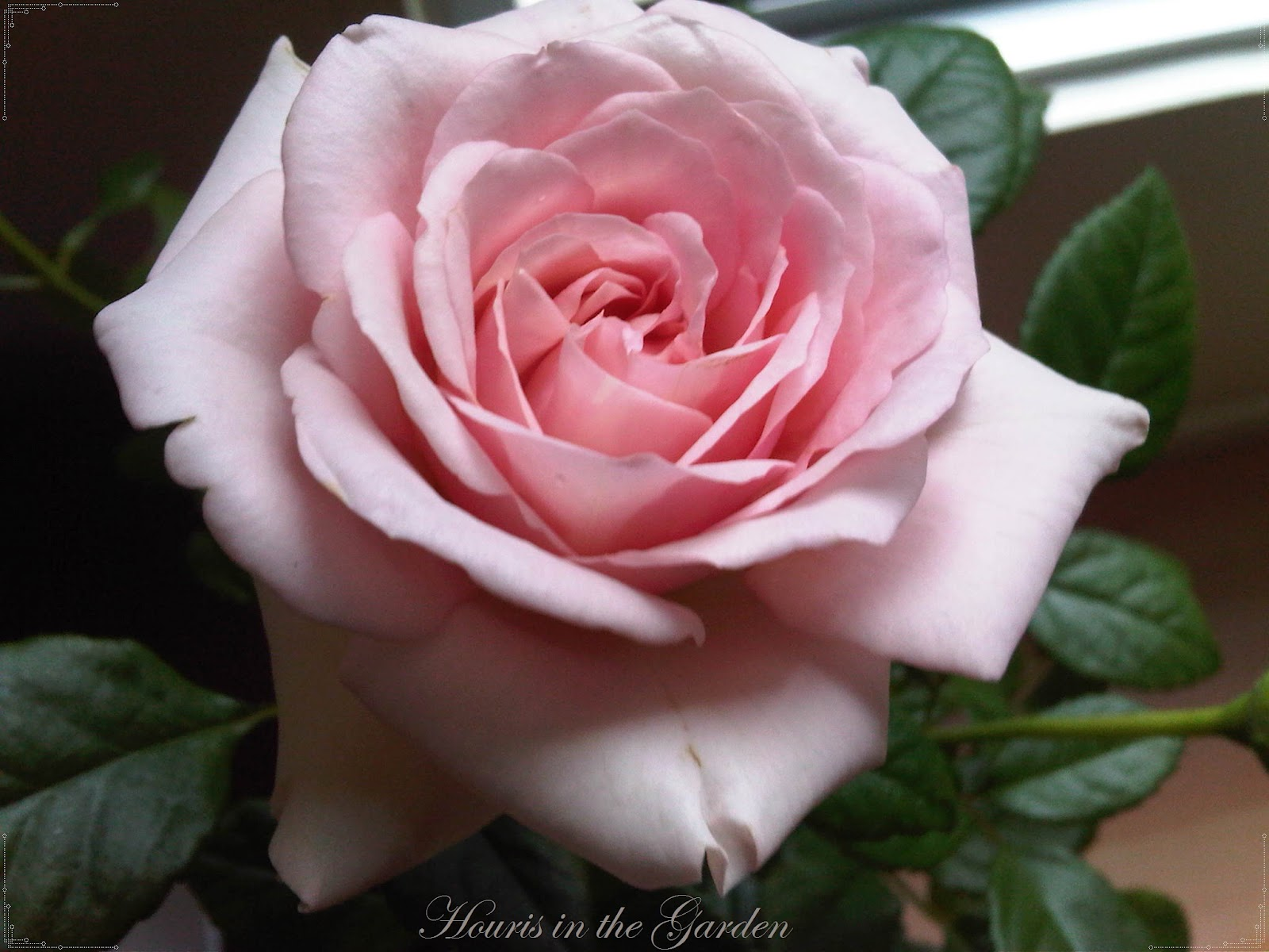 Houris in the Garden Enchanting Roseslight pink rose
