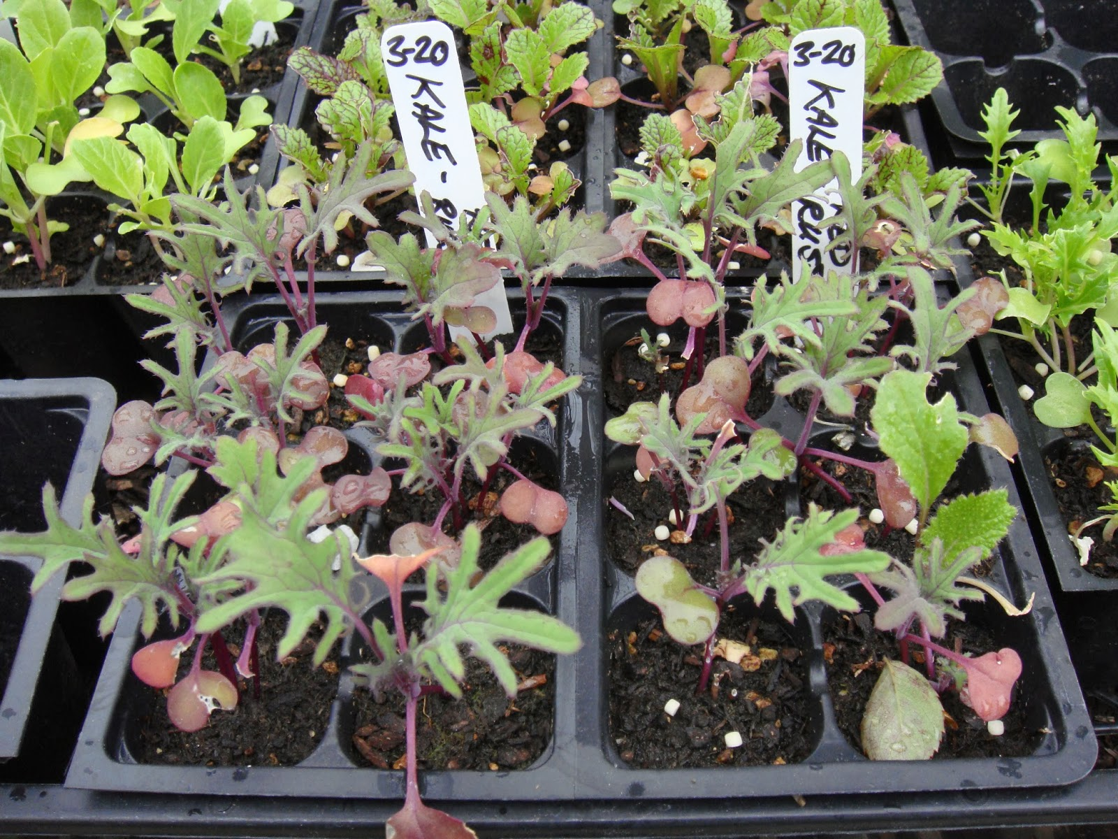 Kale Seedlings Started in The Garden Oracle's Greenhouse.  The Kale Plants in This Photo are About Four Weeks Old from the Date of Sowing and Are Ready for Planting Out in The Garden.  Kale is a Member of the Brassica Family and as Such is a Very Hardy Plant as far as Vegetables Go, but Depending on Temperatures and Weather Conditions a Cloche or Cold Frame may be Helpful to Provide Optimum Growing Conditions and Give Them A Happy Head Start on the Gardening Season - These Items are Available Through The Gardening Suppliers Listed Here on The Garden Oracle Site.