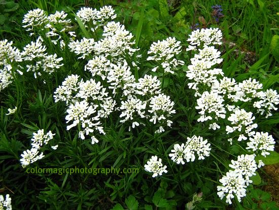 Iberis sempervirens-Edging Candytuft-evergreen candytuft