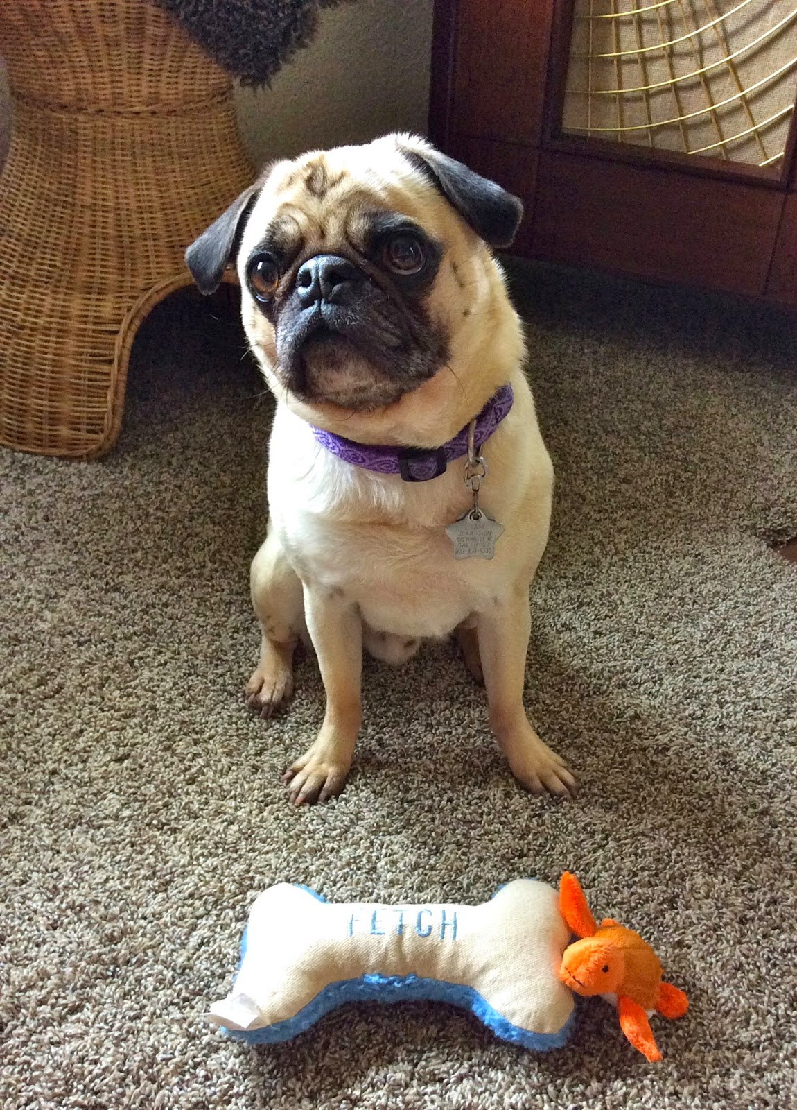Liam the pug with his two dog toys