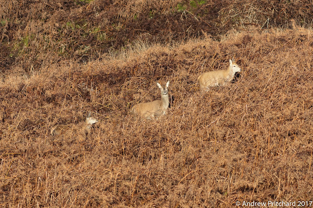 A hind and two calves also move up towards the higher moorland.