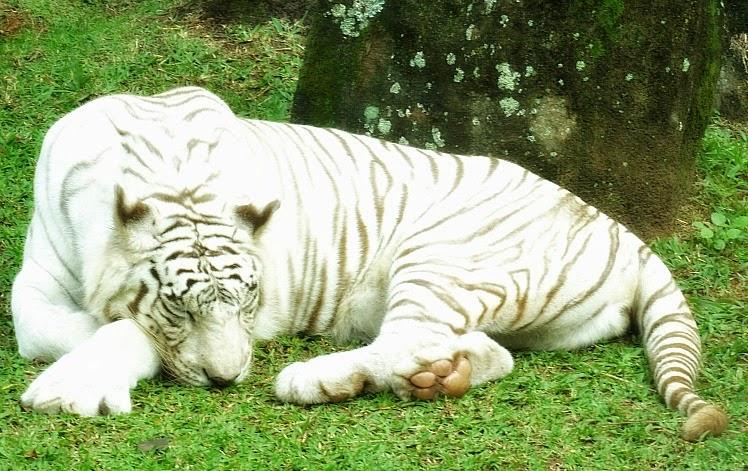 Tigre branco, no Jardim Secreto, no Beto Carrero World