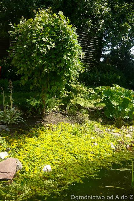 Salix caprea 'Pendula'