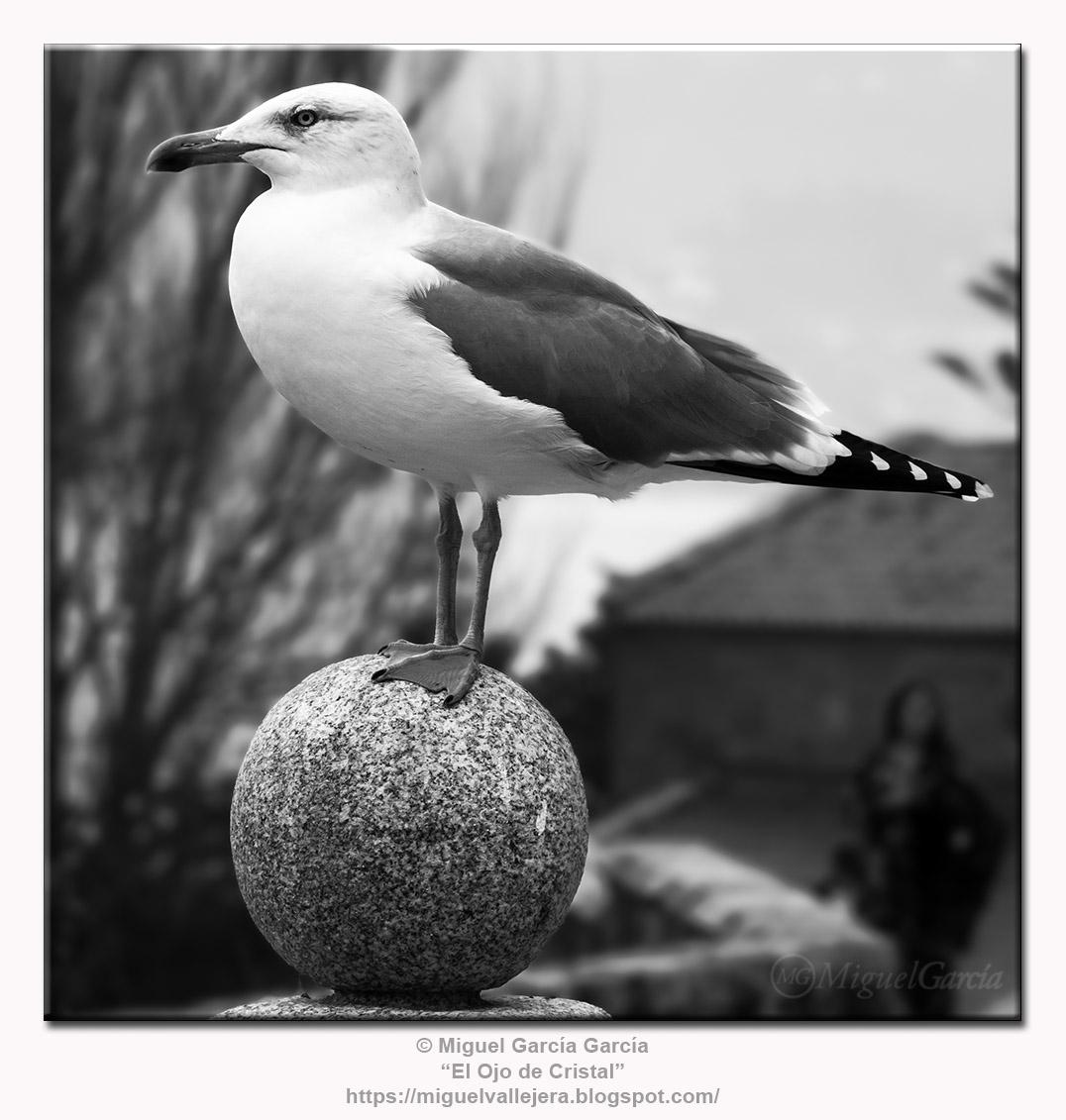 Gaviota /Seagull