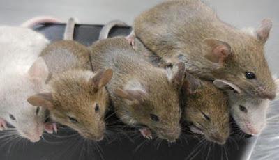 Ilmuwan Berhasil Menciptakan Tikus dari Telur Buatan