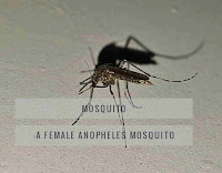Female anopheles mosquito