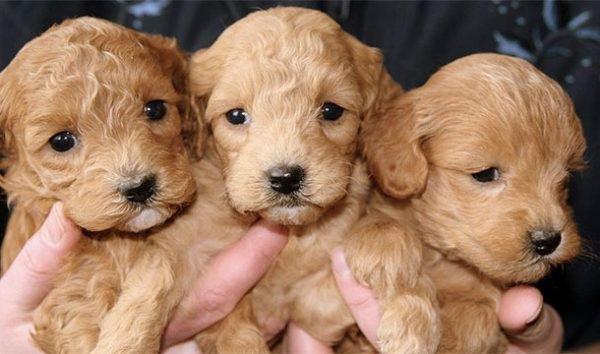 Filhotes de cachorro (Imagem: Reprodução/Internet)