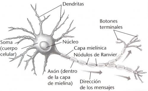 http://cienciasnaturales.es/NEURONA.swf