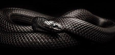 Image result for Giải mã điềm báo giấc mơ thấy con rắn đen