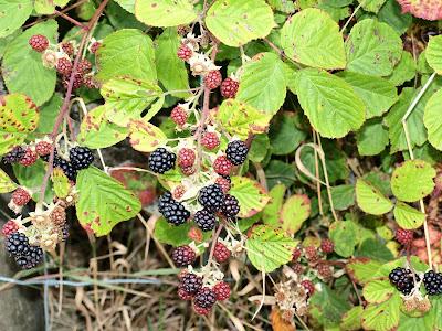 An image of wild blackberries (Rubus fruticosus) growing in Scotland