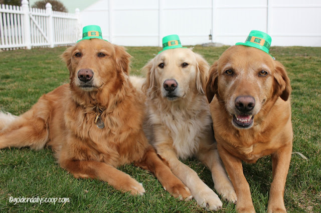 golden retriever dogs dressed for St. Patrick's Day 2016