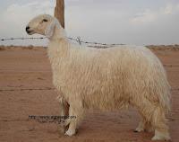 صور غنم , صور خروف , معلومات عن الخرفان والأغنام