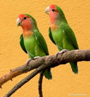 63+  Gambar Burung Lovebird Salem  Terbaru