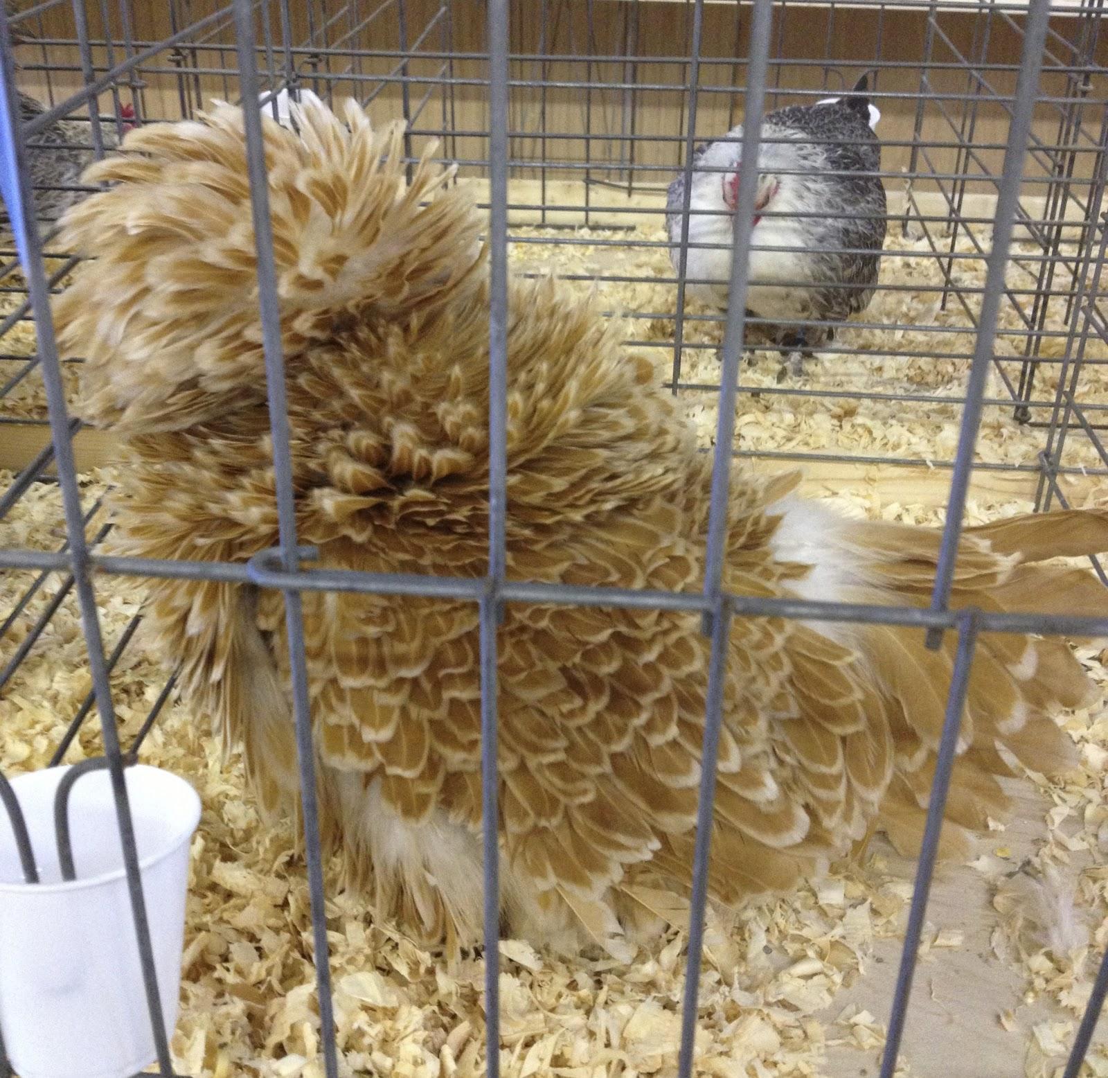 Chilton County Chicken Show