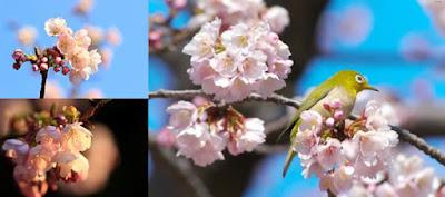 Sakura em Aichi