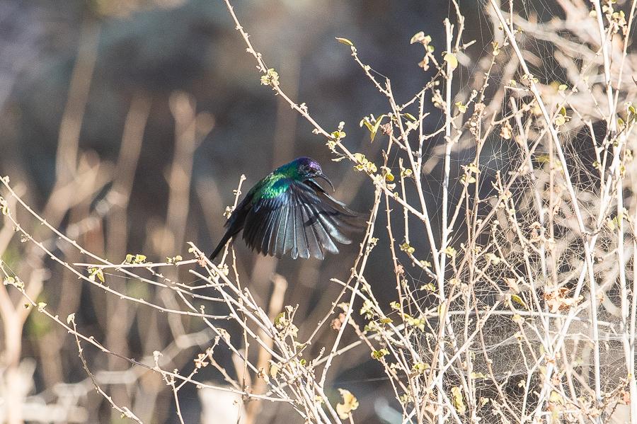 Shinning Sunbird