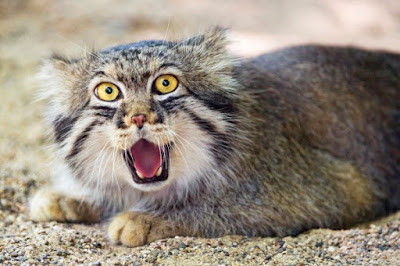 Pallas Cat Kucing Hantu Yang Hampir Punah