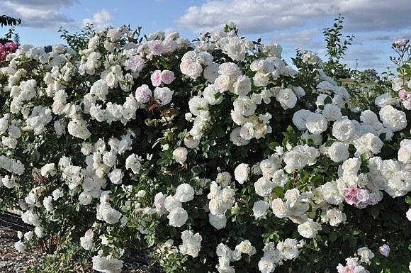 Alaska сорт розы фото