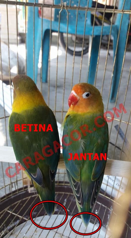 Lovebird Jantan Betina : lovebird, jantan, betina, Bedakan, Anakan, Lovebird, Jantan, Betina, Mulai, Bulan, Gacor