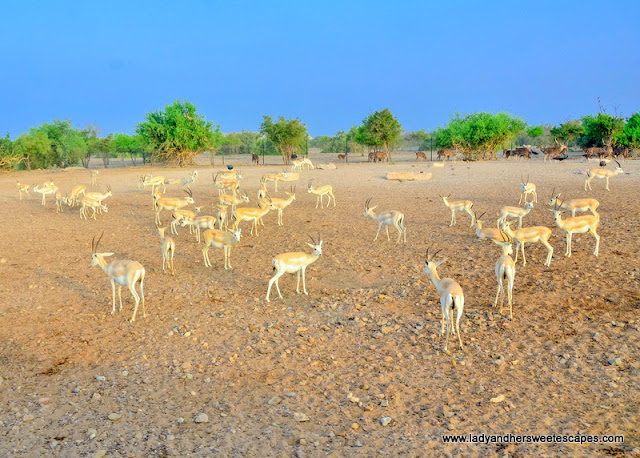 Arabian Sand Gazelles in Sir Bani Yas
