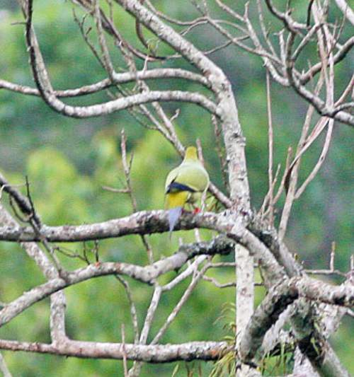 Birds of India -  Image of Pin-tailed green pigeon - Treron apicauda