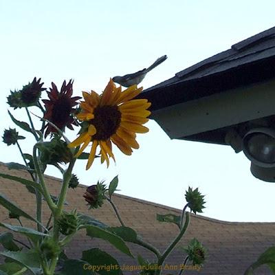 A mockingbird on the roof near my sunflower garden