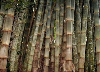 bambu-betung,www.healthnote25.com