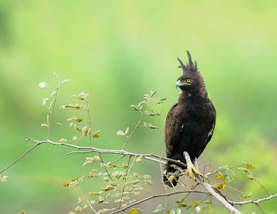 Jual Elang berjambul panjang - Long-crested eagle (Lophaetus occipitalis),  Harga Elang berjambul panjang - Long-crested eagle (Lophaetus occipitalis),  Toko Elang berjambul panjang - Long-crested eagle (Lophaetus occipitalis),  Diskon Elang berjambul panjang - Long-crested eagle (Lophaetus occipitalis),  Beli Elang berjambul panjang - Long-crested eagle (Lophaetus occipitalis),  Review Elang berjambul panjang - Long-crested eagle (Lophaetus occipitalis),  Promo Elang berjambul panjang - Long-crested eagle (Lophaetus occipitalis),  Spesifikasi Elang berjambul panjang - Long-crested eagle (Lophaetus occipitalis),  Elang berjambul panjang - Long-crested eagle (Lophaetus occipitalis) Murah,  Elang berjambul panjang - Long-crested eagle (Lophaetus occipitalis) Asli,  Elang berjambul panjang - Long-crested eagle (Lophaetus occipitalis) Original,  Elang berjambul panjang - Long-crested eagle (Lophaetus occipitalis) Jakarta,  Jenis Elang berjambul panjang - Long-crested eagle (Lophaetus occipitalis),  Budidaya Elang berjambul panjang - Long-crested eagle (Lophaetus occipitalis),  Peternak Elang berjambul panjang - Long-crested eagle (Lophaetus occipitalis),  Cara Merawat Elang berjambul panjang - Long-crested eagle (Lophaetus occipitalis),  Tips Merawat Elang berjambul panjang - Long-crested eagle (Lophaetus occipitalis),  Bagaimana cara merawat Elang berjambul panjang - Long-crested eagle (Lophaetus occipitalis),  Bagaimana mengobati Elang berjambul panjang - Long-crested eagle (Lophaetus occipitalis),  Ciri-Ciri Hamil Elang berjambul panjang - Long-crested eagle (Lophaetus occipitalis),  Kandang Elang berjambul panjang - Long-crested eagle (Lophaetus occipitalis),  Ternak Elang berjambul panjang - Long-crested eagle (Lophaetus occipitalis),  Makanan Elang berjambul panjang - Long-crested eagle (Lophaetus occipitalis),  Elang berjambul panjang - Long-crested eagle (Lophaetus occipitalis) Termahal,  Adopsi Elang berjambul panjang - Long-crested eagle (Lophaetus occipitalis