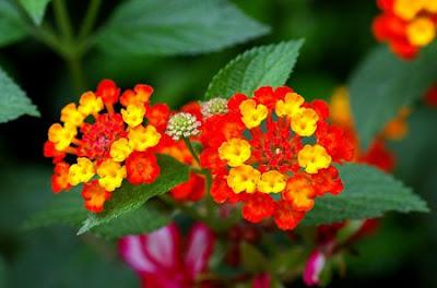 Bài thuốc chữa từ cây hoa ngũ sắc chữa viêm xoang cấp