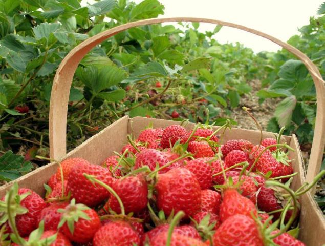 tempat wisata memetik strawberry di bandung, wisata petik strawberry bandung, petik strawberry ciwidey