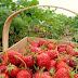 Tempat Wisata Strawberry Walk Di Bandung