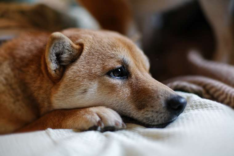 A sad-looking Shiba Inu lies on a bed
