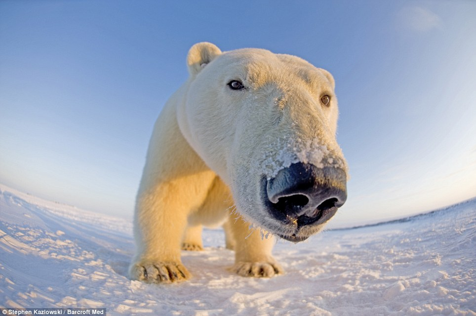 The Animal Zone: Polar Stare: Arctic Bears Get Up Close