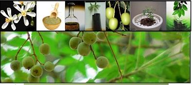 propiedades curativas del arbol nim