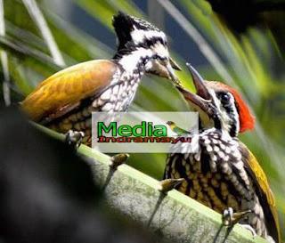 Daftar Harga Burung Pelatuk April 2018 Media Burung Indramayu