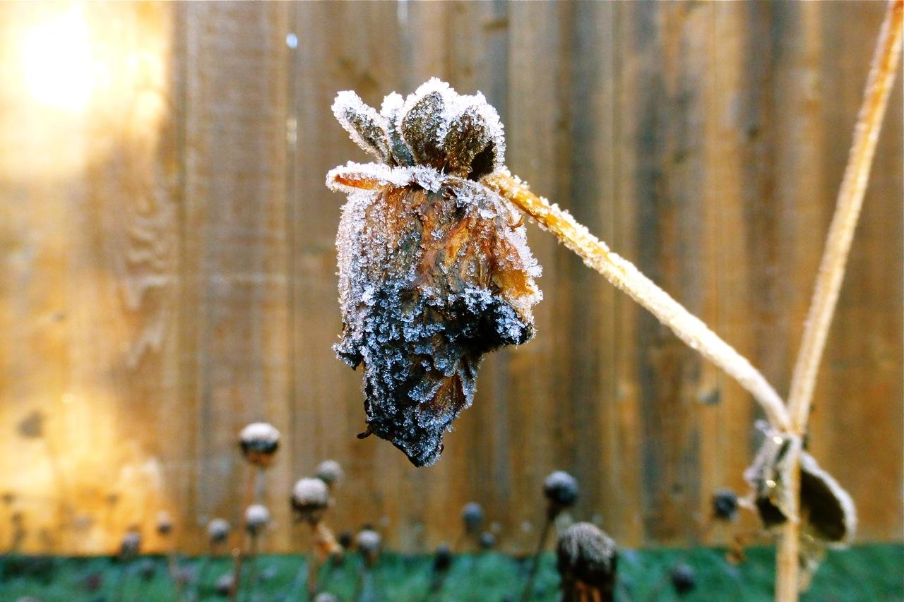 dahlia, frosty dahlia