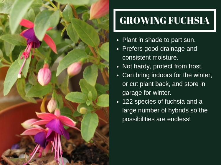 How To Grow Fuchsia // www.thejoyblog.net