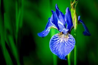 Apa Makna Dibalik Bunga Iris Atau Bunga Pelangi Yang Sedang Trend