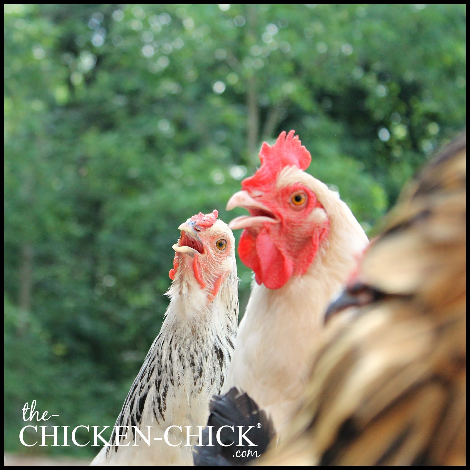 the chicken the effect of the solar eclipse on chickens
