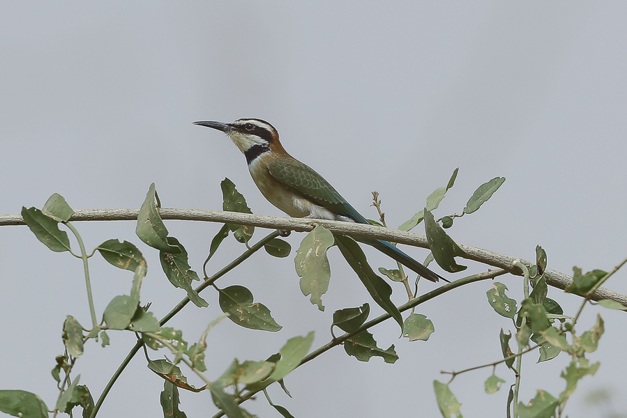 White-throated Bee-eater - juvenile