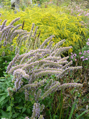 Autumn Goldenrods at the Toronto Botanical Garden's Perennial Borders by garden muses--not another Toronto gardening blog