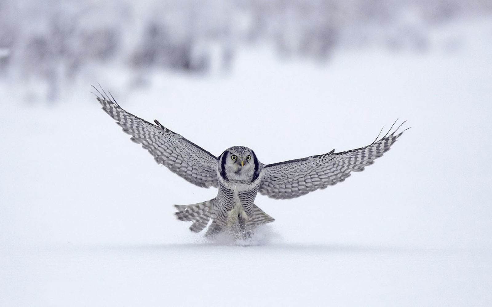 Wallpapers White Owl Wallpapers