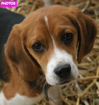 Cute beagle puppy beagle puppies cute beagle puppy 1 voltagebd Image collections