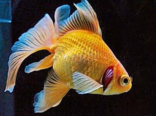 Gambar Ikan Mas Koki Curled Gill