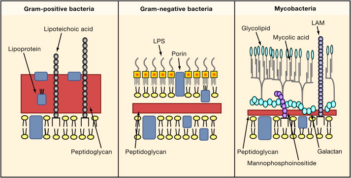 Microbiology iv domain bacteria the amazing medicine gram negative cell walls are more complex structurally and chemically although they are thinner and do not contain teichoic or lipoteichoic acid ccuart Gallery