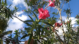 Nerium oleander (Oleander) tropical tree leaves pink flowers asia invasive