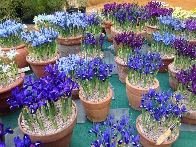 Iris reticulata híbridos