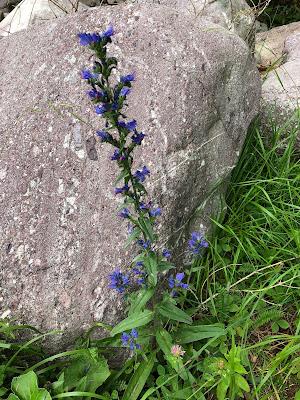 [Boraginaceae] Echium vulgare – Viper's Burgloss (Viperina azzurra comune).