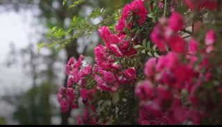 tầm xuân đỏ sapa